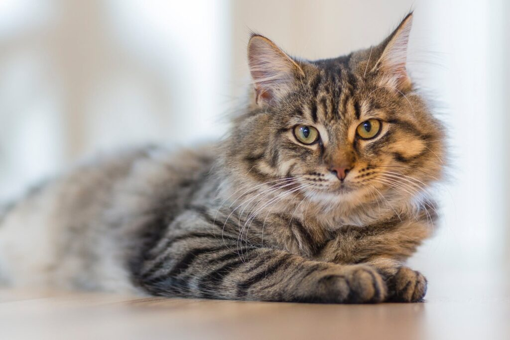 gray tabby cat lying on white surface